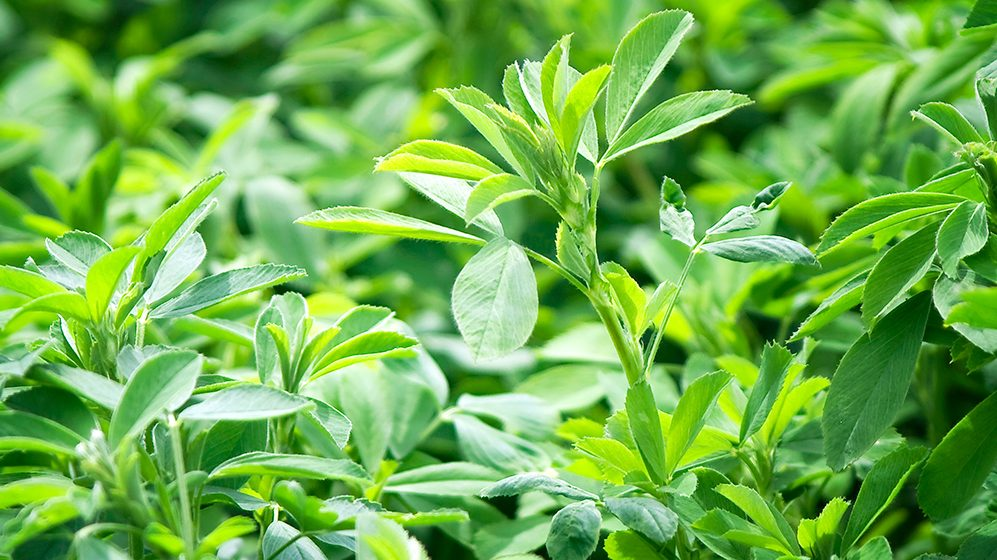 Alfalfa Planting