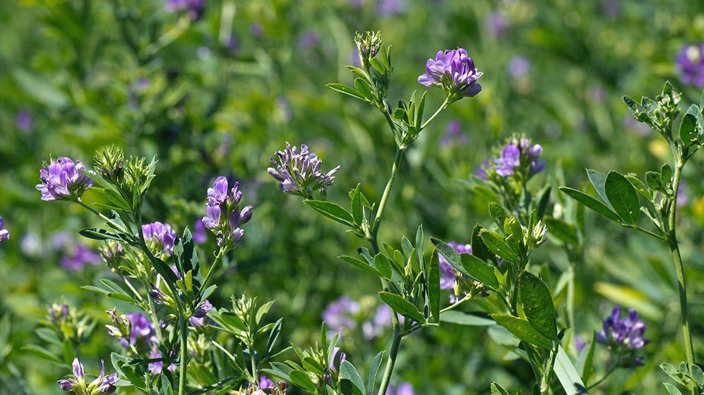 Fall Alfalfa Planting