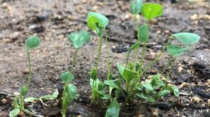 Alfalfa seedlings